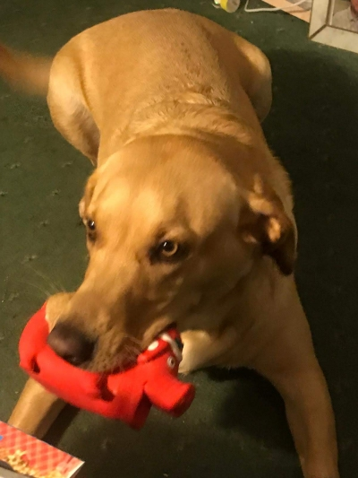 'Honey' the dog belonging to a carer from Coast Home Care enjoys her Christmas present from one of our lovely clients.
